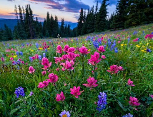 wildflowers in the vail colorado gore range